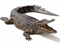 Whole alligator average 7 to 10 lbs., gator meat, alligator meat, alligator tail, where to buy alligator meat, gator meat for sale, buy alligator meat, alligator tail meat, gator tail meat, where can I buy alligator meat, alligator tail meat for sale