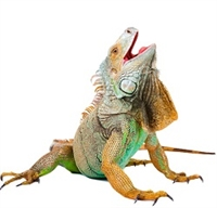 Iguana Meat, Buy Iguana Meat, Iguana Meat online, Iguana Meat on sale, purchase Iguana Meat, how to cook Iguana Meat, where can I buy Iguana Meat, purchasing Iguana Meat online, exotic meat market, exotic meat markets, anshu pathak