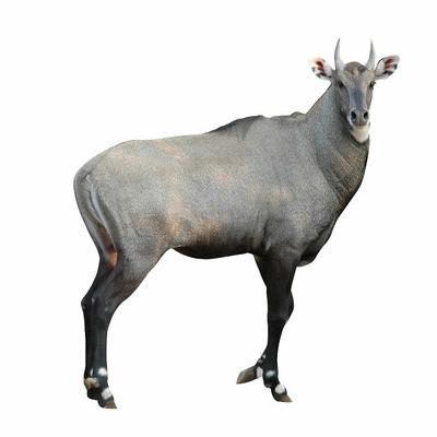 Buy-nilgai-antelope-ground-meat-10-lbs-exotic-meat-market