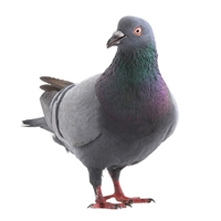 Wild Pigeon Meat is a great source of satisfying protein, which helps your body repair cells and make new ones. One breast per person is enough for a starter, and two make a reasonable main course. Yes, our Wild Pigeons are BIG.