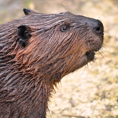 Male Beaver Has Two Testicles And They Really Taste Yummy Beaver